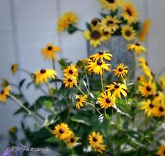 calendula(0.0), nectar(0.0), marguerite daisy(0.0), chamaemelum nobile(0.0), tanacetum parthenium(0.0), sulfur cosmos(0.0), meadow(0.0), annual plant(1.0), flower(1.0), yellow(1.0), plant(1.0), herb(1.0), wildflower(1.0), flora(1.0), oxeye daisy(1.0), petal(1.0),