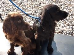puppy(0.0), field spaniel(0.0), cockapoo(0.0), dog breed(1.0), animal(1.0), sussex spaniel(1.0), dog(1.0), boykin spaniel(1.0), pet(1.0), mammal(1.0), russian spaniel(1.0), english cocker spaniel(1.0), spaniel(1.0), german spaniel(1.0), english springer spaniel(1.0), american cocker spaniel(1.0),