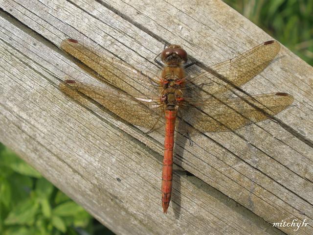 Dragonfly 1