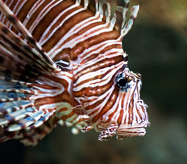 Nasty aussie creatures a gallery on flickr for Tiger striped fish