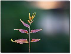 tender neem leaves