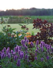 Stachys 'Hummelo', Asclepias tuberosa and Cotinus 'Purple Robe'