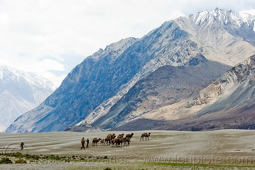 DSC12397 - Camel herd - Nubra Valley - Ladakh (India)