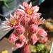 Crassulaceae 景天科