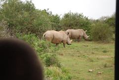 grazing, rhinoceros, fauna, pasture, grassland, safari, wildlife,