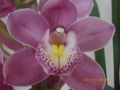 cattleya labiata(0.0), euanthe sanderiana(0.0), cattleya trianae(0.0), flower(1.0), plant(1.0), phalaenopsis equestris(1.0), flora(1.0), dendrobium(1.0), petal(1.0),