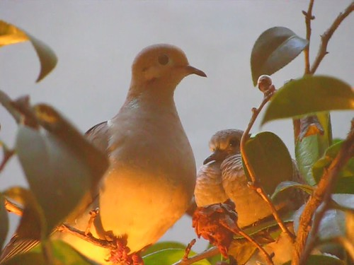 Mourning Doves in the tree, early evening