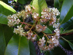Photinia Red Robin flower cluster