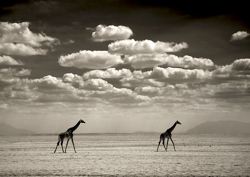 Two giraffes in Amboseli National Park - Kenya