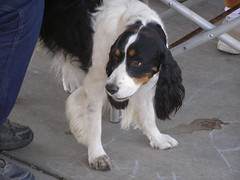 kooikerhondje(0.0), drentse patrijshond(0.0), dog breed(1.0), animal(1.0), dog(1.0), pet(1.0), spaniel(1.0), carnivoran(1.0),