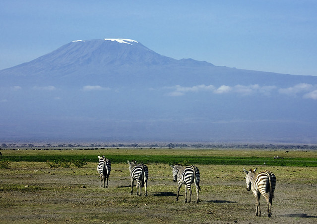 Zebras and Kilimandjaro - Kenya