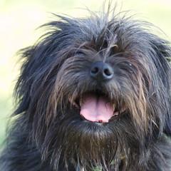 dog breed, animal, dog, pet, tibetan terrier, mammal, bolonka, poodle crossbreed, havanese, lhasa apso, catalan sheepdog, cairn terrier, affenpinscher, terrier,