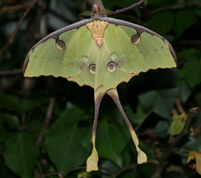 African Moon moth (Argema mimosae) Flickr - Photo Sharing!
