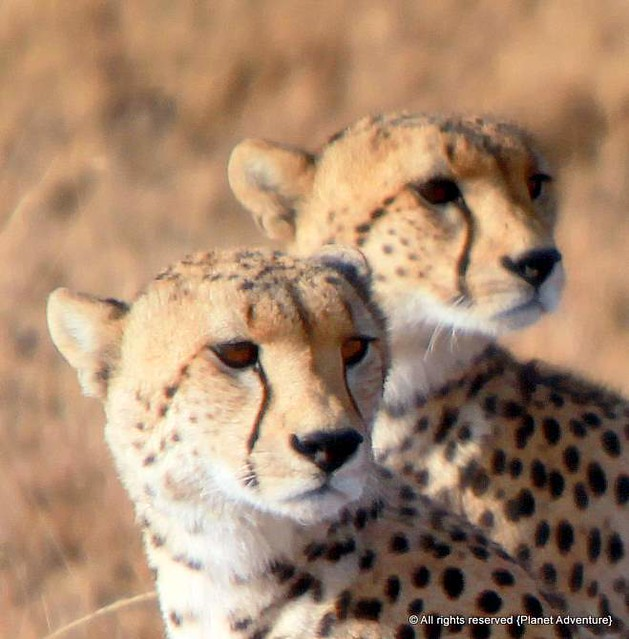 Cheetahs - Serengeti National Park - Tanzania - Africa