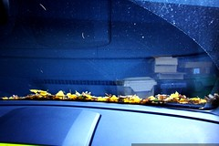autumn leaves on our windshield    MG 6080