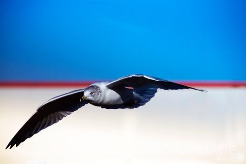 gulls_0121.tif