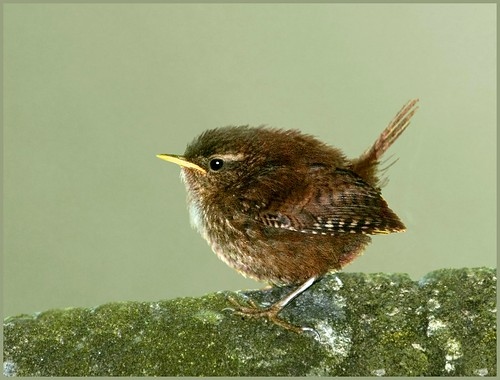 Wren on the wall (troglodytes troglodytes)