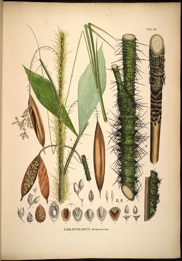 Ceratolobus glaucescens
