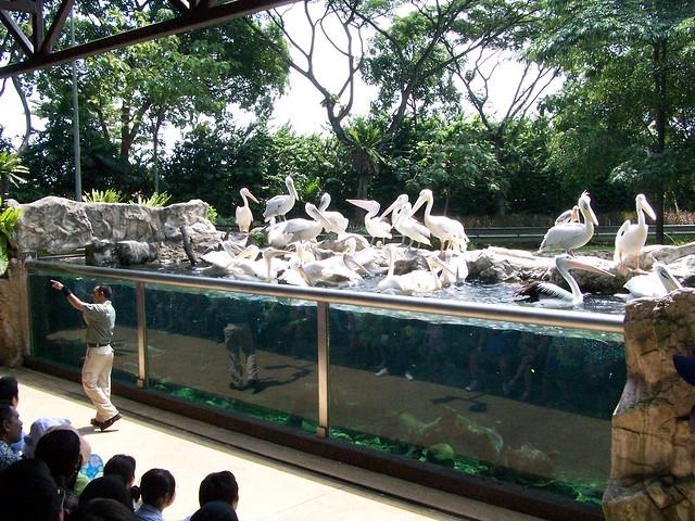 the pelican show