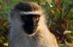 baboon(0.0), tufted capuchin(0.0), capuchin monkey(0.0), drill(0.0), white-headed capuchin(0.0), beak(0.0), animal(1.0), monkey(1.0), mammal(1.0), langur(1.0), fauna(1.0), close-up(1.0), old world monkey(1.0), new world monkey(1.0), macaque(1.0), wildlife(1.0),