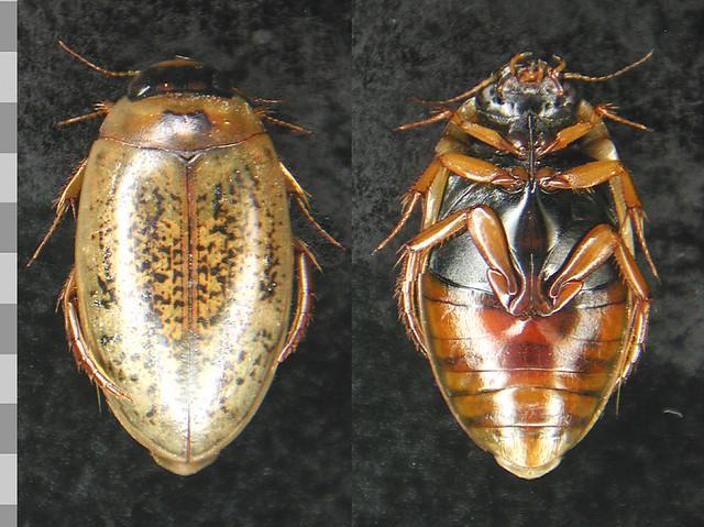 Header of Agabus nebulosus