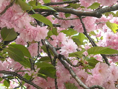 flower, branch, tree, plant, produce, cherry blossom, spring, pink,