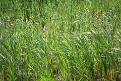 prairie, agriculture, sweet grass, field, grass, plant, chrysopogon zizanioides, hierochloe, green, paddy field, crop, meadow, grassland,
