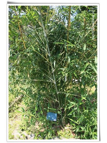 台北植物园 竹子植物区 | flickr – 相片分享!