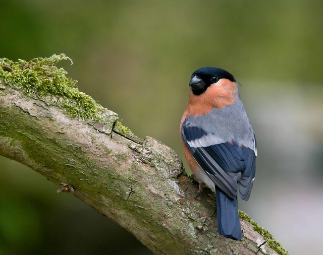male bullfinch looking over shoulder