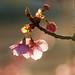 河津桜、咲きました! by tobi911