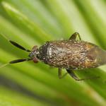 Atractotomus magnicornis
