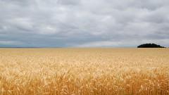 Wheatfeild Trees