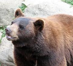 animal(1.0), american black bear(1.0), snout(1.0), mammal(1.0), grizzly bear(1.0), fauna(1.0), brown bear(1.0), bear(1.0), wildlife(1.0),