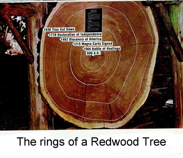 Redwood Tree With Tree Rings Behind
