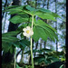 mayapple - Photo (c) Stephen Seiberling, some rights reserved (CC BY-NC-ND)