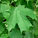 Small photo of Acer saccharum - Sugar Maple summer leaves