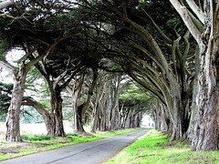 Avenue of Trees - Point Reyes