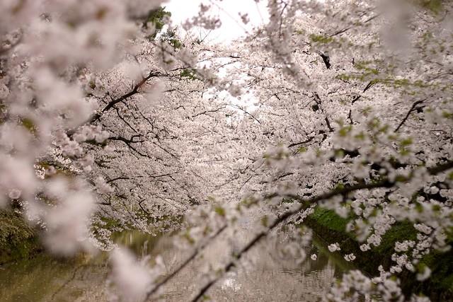 Sakura - Hirosaki