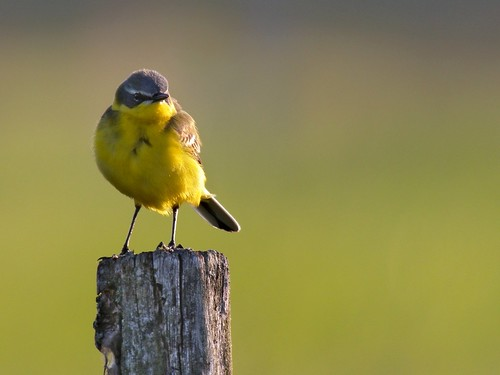 Blue-headed Wagtail (Motacilla flava), Zajki meadows, Poland