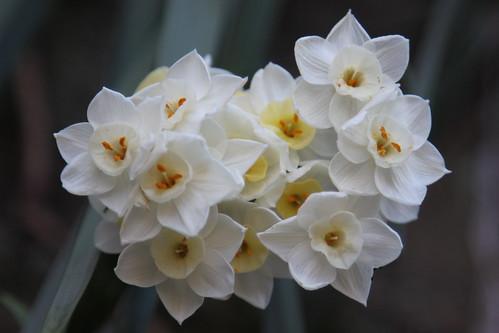 daffodils / jonquils