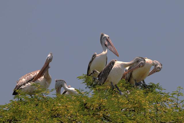 kokkare Bellur Pelicans
