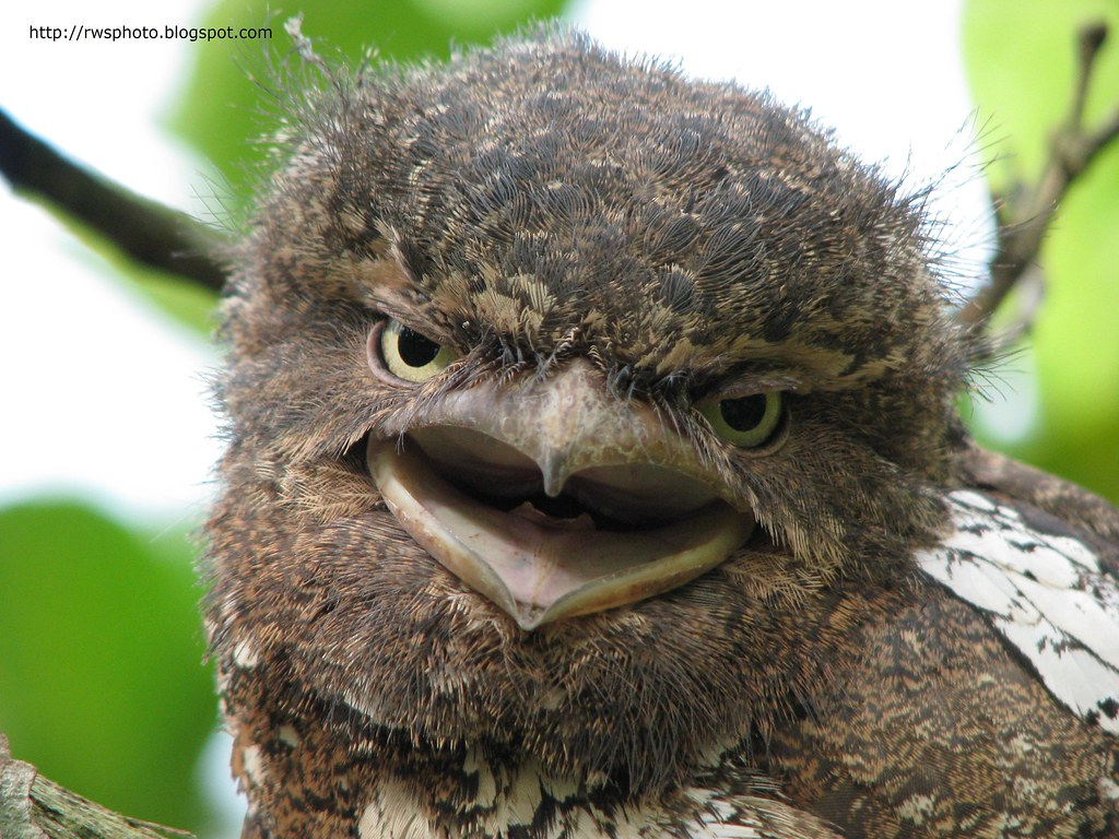 Juvenile Frogmouth Owl from Borneo