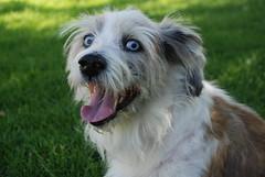 coton de tulear(0.0), lã¶wchen(0.0), tibetan terrier(0.0), dandie dinmont terrier(0.0), dog breed(1.0), animal(1.0), dog(1.0), schnoodle(1.0), polish lowland sheepdog(1.0), glen of imaal terrier(1.0), havanese(1.0), lhasa apso(1.0), catalan sheepdog(1.0), bearded collie(1.0), carnivoran(1.0),