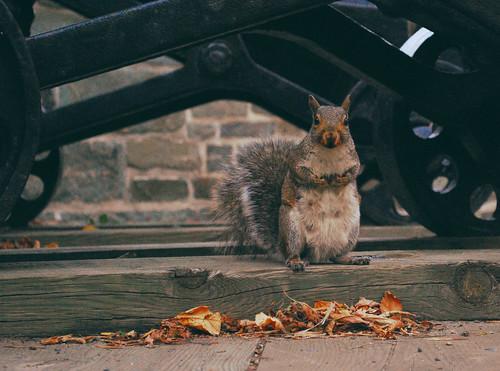 canada cute fall animal standing automne furry nikon squirrel quebec automn quebeccity écureuil d60 ecurueil
