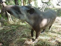 animal, fauna, tapir,