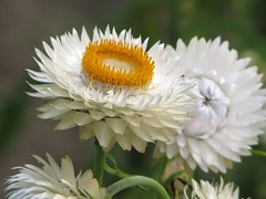 White everlasting daisy 'Cockatoo'