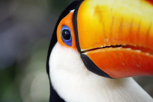 Toucan bird by @Doug88888