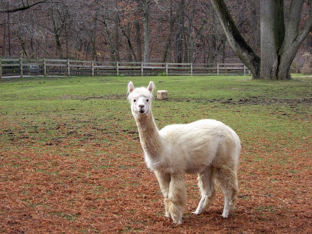Cirrus the alpaca explore beautifulcataya 39 s photos on for Alpaca view farm cuisine