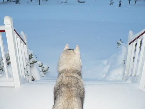 4198541734 edd592d888 Cool Siberian Husky images
