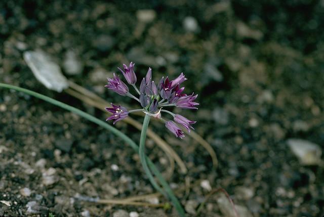 Header of Allium fimbriatum